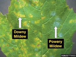 Grape Downy Powdery Mildew.jpg