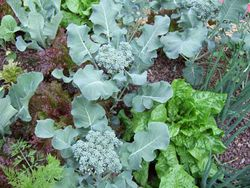 Broccoli-and-lettuce-1-.jpg