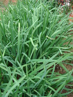 Garlic chives.jpg