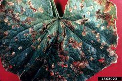 Cucumber Angular leaf spot P. amygdali pv. lachrymans Leaf.jpg