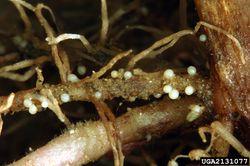 Potato Cyst Nematode Eelworm.jpg