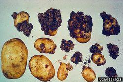 Potato Wart Disease.jpg
