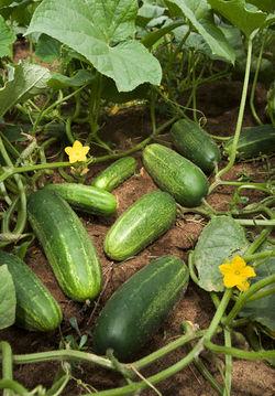 Cucumbers on a vine.jpg