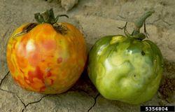 Tomato Tomato Spotted Wilt Virus.jpg