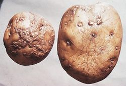 Potato Skin spot Polyscytalum pustulans .jpg