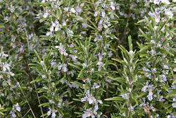 Rosemary in flower.jpg