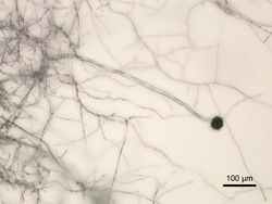 Aspergillus niger Micrograph.jpg