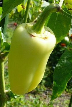 Sweet pepper Antohi romanian.jpg
