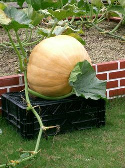 Atlantic Giant Pumpkin.jpg