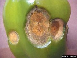 Sweet pepper Anthracnose Colletotrichum.jpg