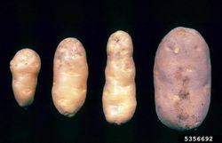 Potato Potato spindle tuber viroid.jpg