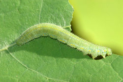 Small Cabbage White Caterpillar.jpg