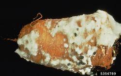 Carrot Sclerotinia Rot.jpg