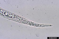 Root-knot nematode Meloidogyne mayaguensis.jpg