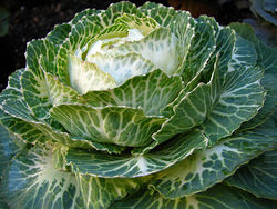 Winter Cabbage.jpg