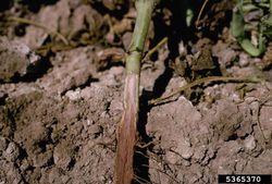 Bean Fusarium Wilt.jpg