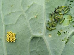 Cabbage white eggs and caterpillars on sea kale leaf.jpg