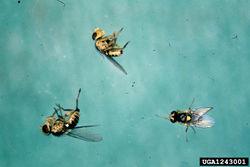 Vegetable leafminer Liriomyza sativae Fly.jpg