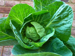Summer Cabbage.jpg