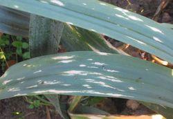Leek White tip disease Phytophthora porri.jpg