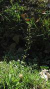Capsella bursa-pastoris G 4029.JPG