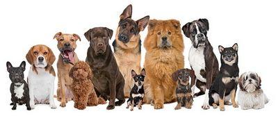 Dog Breeds Above Lb