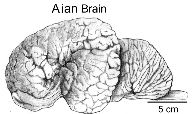 File:Aian brain.png