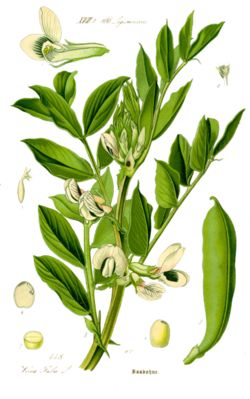 Archivo:Illustration Vicia faba1.jpg