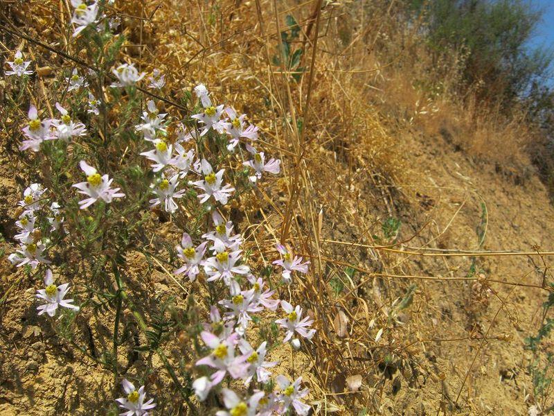 Archivo:Mostazal Schizanthus 74.JPG