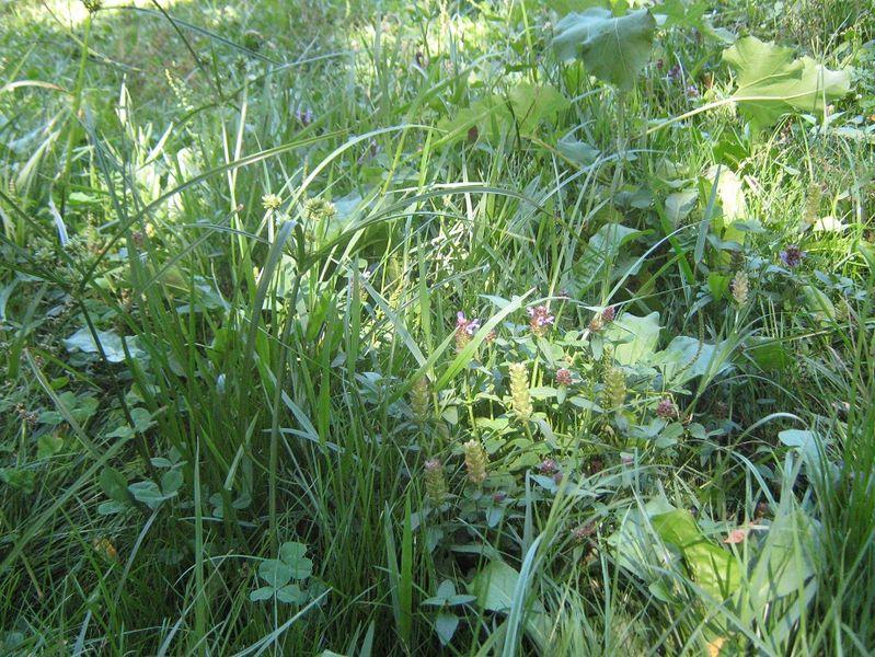 Archivo:Gualcachu C eragrostis 3647.jpg