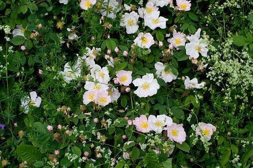 R. x polliniana, Rautio 5.jpg