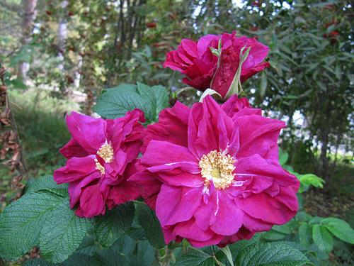 Moje Hammarsberg, Finnish Rose Society 6.jpg