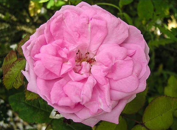 Ambroise GENTIL - hybride rosa x centifolia-1-g.jpg