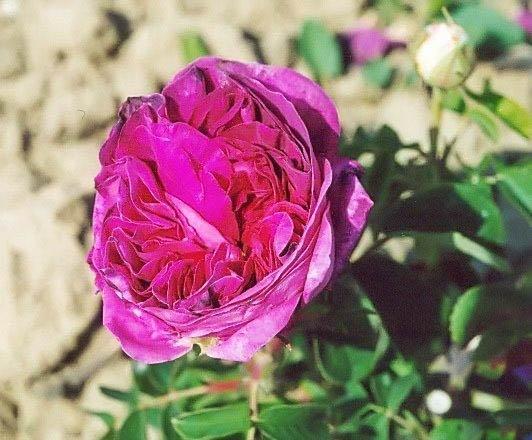 Belle rosine filtered-3-g.jpg