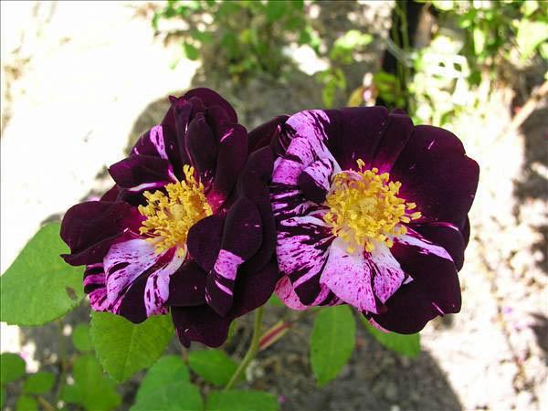 Roseraie de Commer - hybride rosa gallica-1-g.jpg