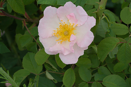 R. x polliniana, Rautio 1.jpg