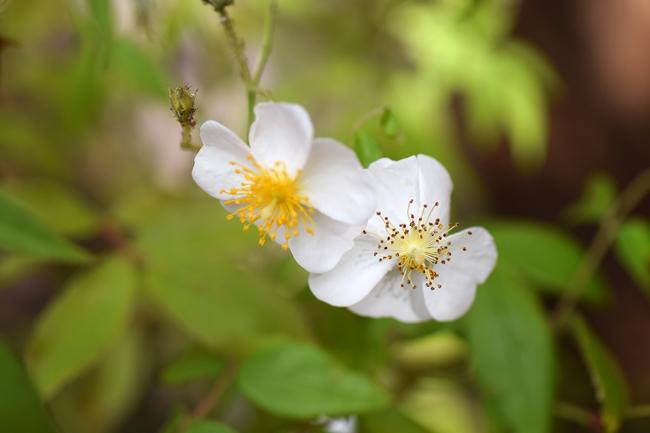R.helenae, Asienflora 2.jpg