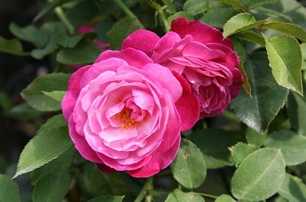 Sophie's Perpetual, Himeno Rose Nursery.jpg