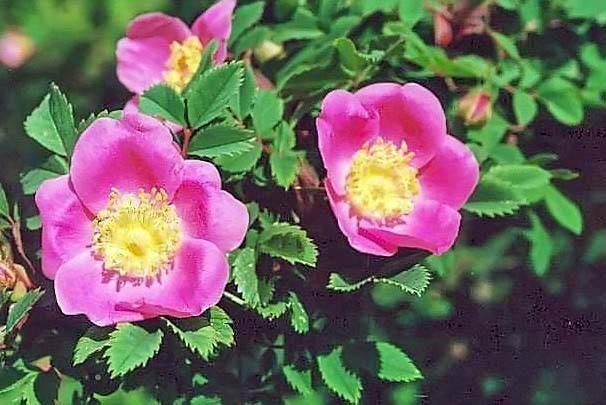 R.omissa (R.sherardii) filtered-3-g.jpg