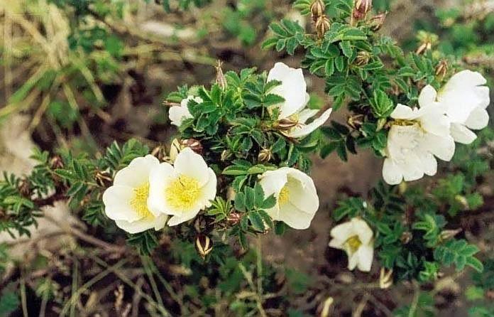 R.omiensis (chrysocarpa) filtered-3-g.jpg