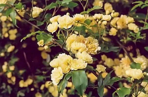 Banksiae lutea filtered Kopie-3-g.jpg