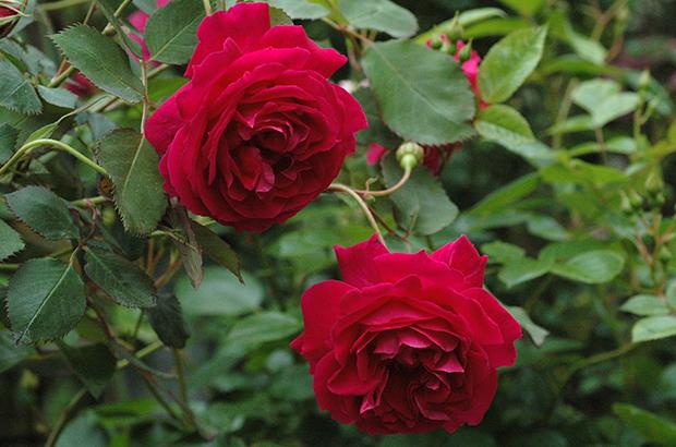 Gruss an Teplitz, Himeno Rose Nursery.jpg