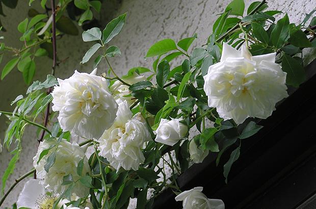 Lamarque, Himeno Rose Nursery.jpg