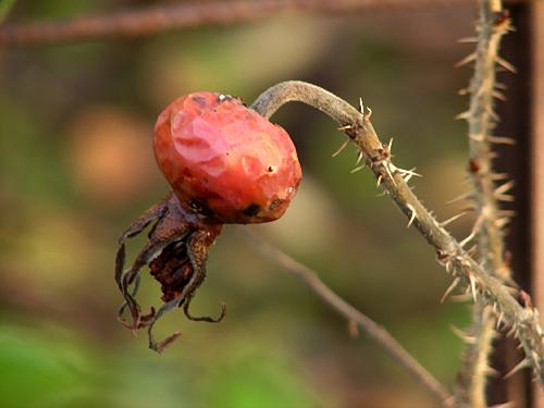 Moje Hammarsberg, Finnish Rose Society 5.jpg