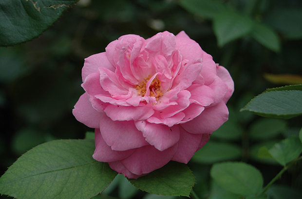 Champion of the World, Madame de Graw, Himeno Rose Nursery.jpg