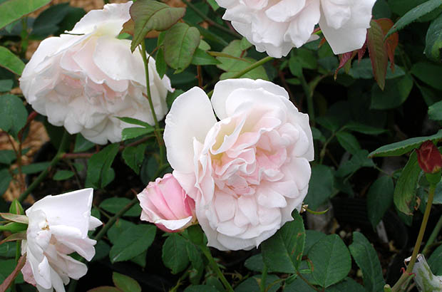 Hume's Blush Tea-scented China, Himeno Rose Nursery.jpg
