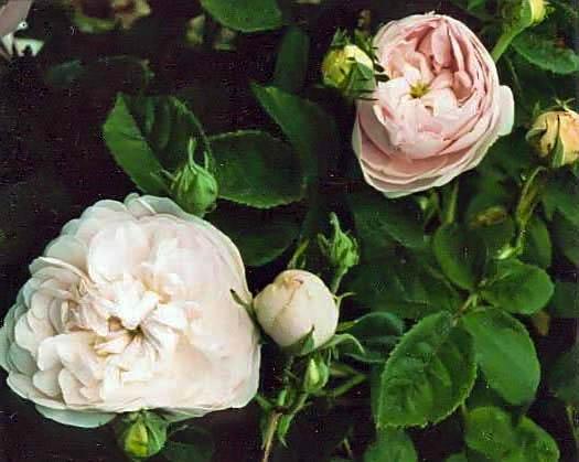 Rosa centifolia prolifera de redoute filtered-3-g.jpg