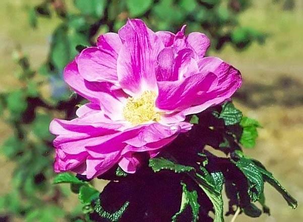 R.rugosa rubra filtered-3-g.jpg