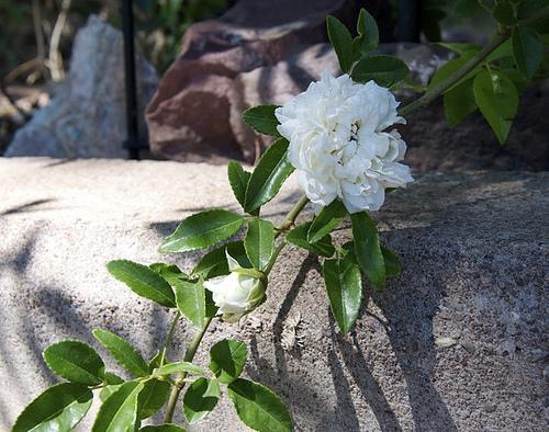 Tombstone White Lady Banks 8650926982 f953e70864.jpg