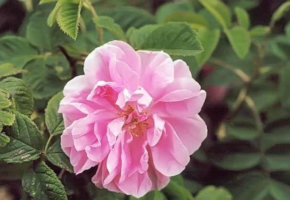 Rosa damascena trigintipetala filtered-3-g.jpg